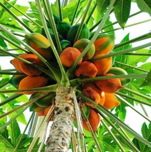 La papaye bio antioxydante pour votre santé