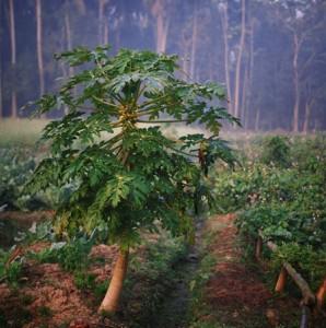 Botanique culture de la papaye bio antioxydant naturel puissant