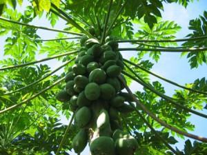 La papaye bio antioxydant puissant